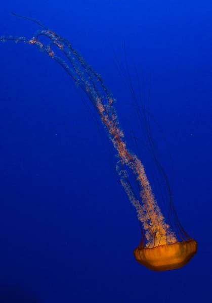 Photograph - Downward Facing Pacific Sea Nettle 1 by Scott Campbell