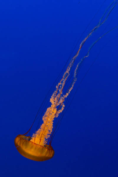Photograph - Downward Facing Pacific Sea Nettle 2 by Scott Campbell