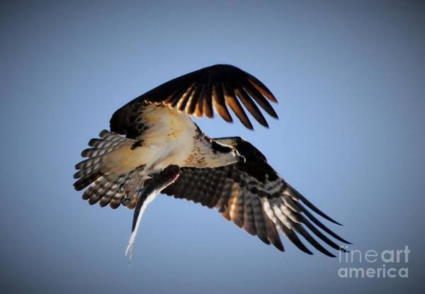 River Hawk Photograph - Downward Thrust by Quinn Sedam