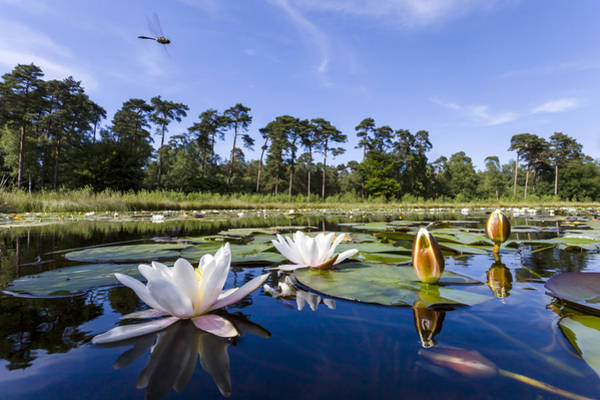 Skimmers Photograph - Downy Emerald Dragonfly Flying Over Lake by Alex Huizinga