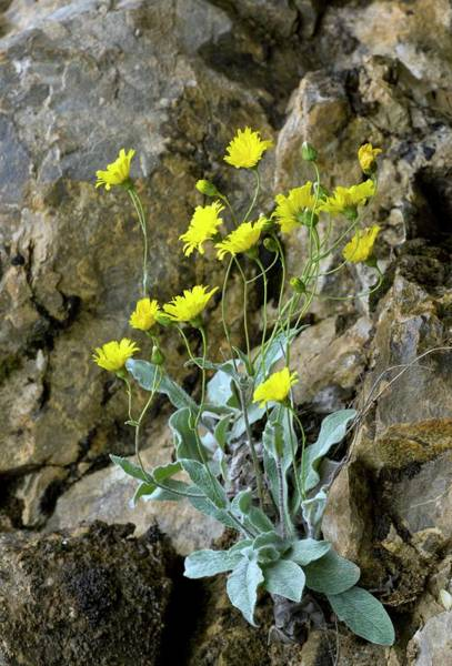 Pyrenees Photograph - Downy Hawkweed (hieracium Lawsonii) by Bob Gibbons