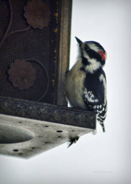 Photograph - Downy Woodpecker by Cricket Hackmann