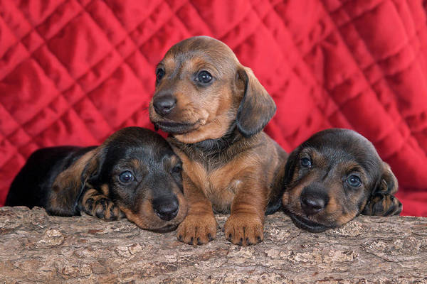 Wall Art - Photograph - Doxen Puppies On Log by Zandria Muench Beraldo