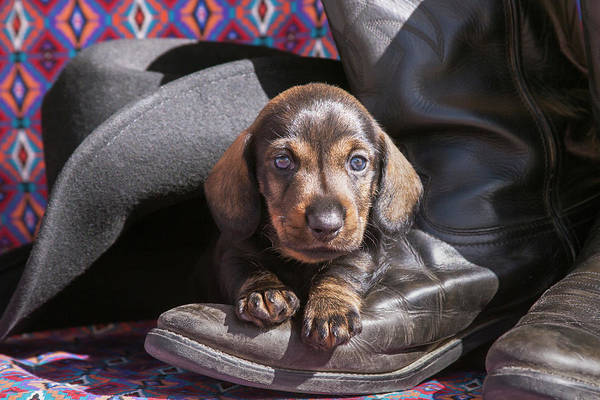 Wall Art - Photograph - Doxen Puppy On Cowboy Boot by Zandria Muench Beraldo