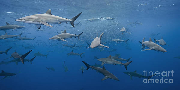 Wall Art - Photograph - dozens of pelagic Silky Sharks feeding on baitfish in tropical Mexican waters by Brandon Cole