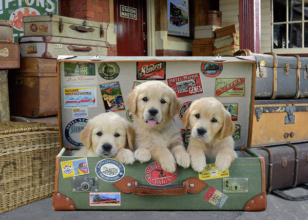 Wall Art - Painting - Dp1253 Puppy Suitcase by MGL Meiklejohn Graphics Licensing
