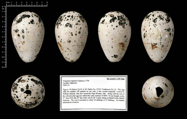 Chordate Photograph - Dr Leach's '139' Great Auk Egg by Natural History Museum, London