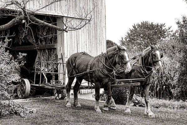 Wall Art - Photograph - Draft Horses At Work by Olivier Le Queinec