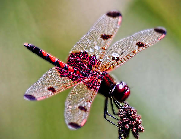Wall Art - Photograph - Dragon Fly by Keith Hutchings