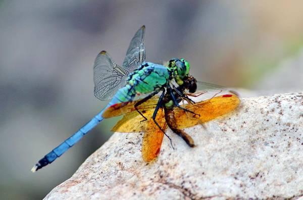Photograph - Dragonflies by Cynthia Guinn