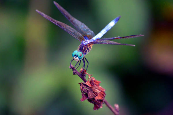 Photograph - Dragonfly 2 by Lesa Fine