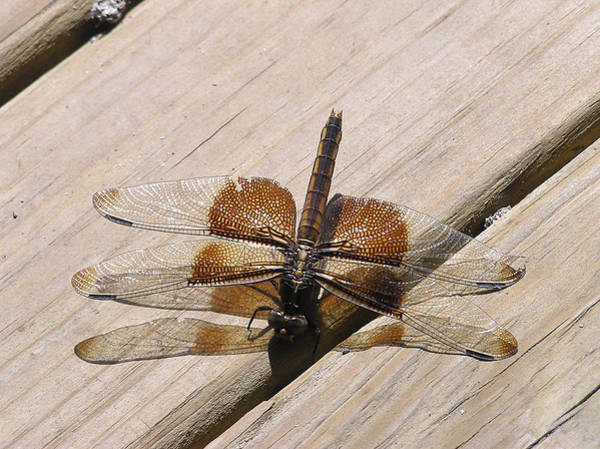 Photograph - Dragonfly by Adam Johnson