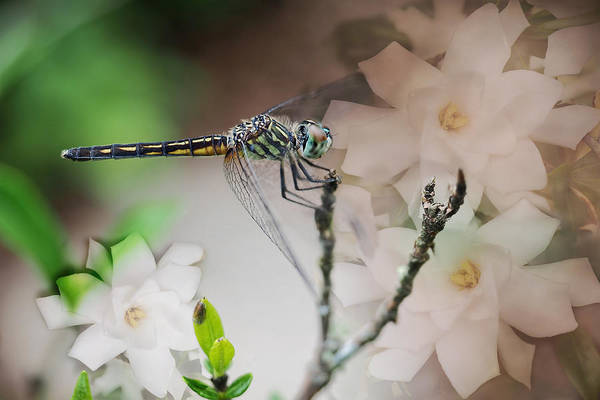 Dasher Photograph - Dragonfly And Gardenias by Bonnie Barry