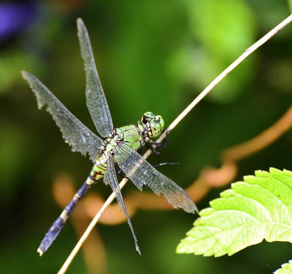 Photograph - Dragonfly by Bill Hosford