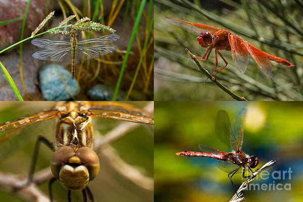Photograph - Dragonfly Collage by Mae Wertz
