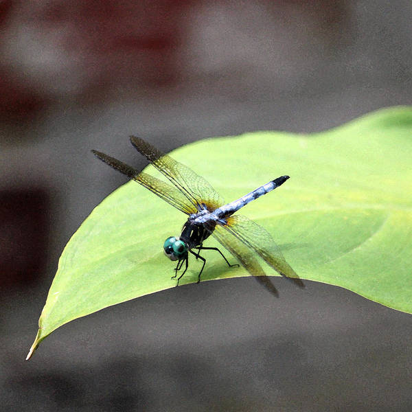 Summertime Wall Art - Photograph - Dragonfly Dimernsions II by Suzanne Gaff