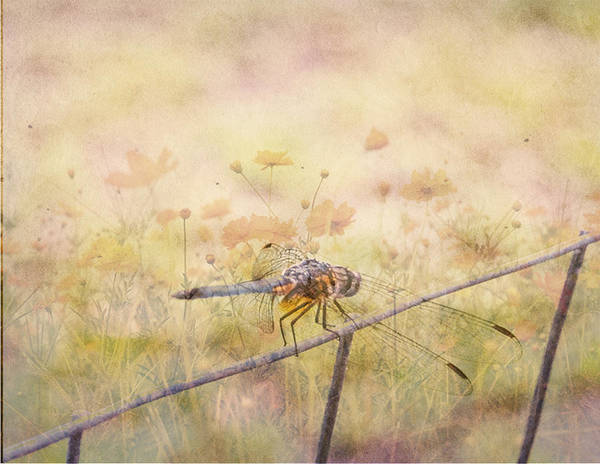 Photograph - Dragonfly Dreams by Judy Hall-Folde