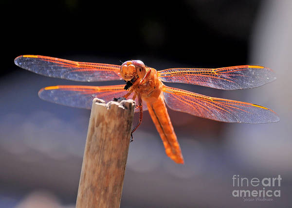 Dragonfly Eating An Insect Art Print