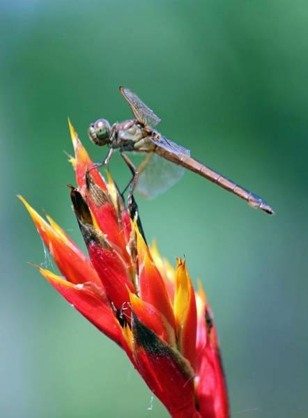 Photograph - Dragonfly Feeding by Cynthia Guinn