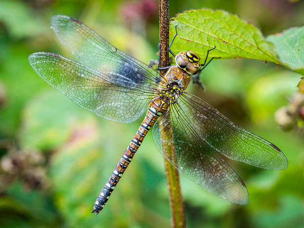 Photograph - Dragonfly. by Gary Gillette