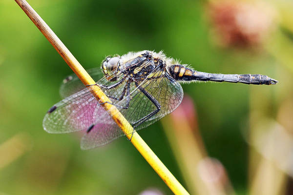 Wall Art - Photograph - Dragonfly by Grant Glendinning