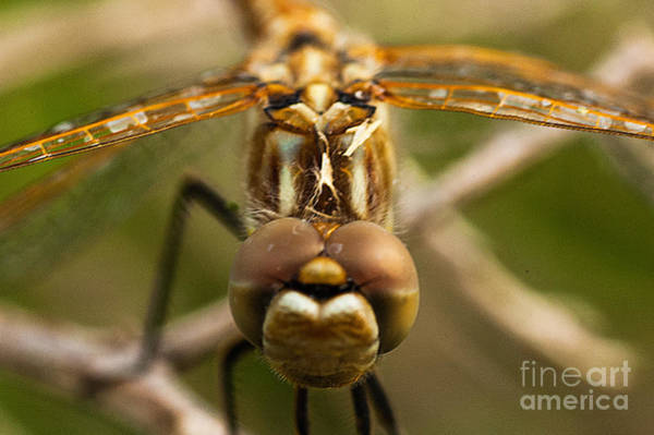 Dragonfly Head Art Print by Mae Wertz