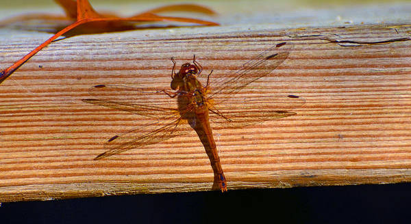Oct 2013 Photograph - Dragonfly I by Chris Tennis