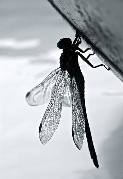 Photograph - Dragonfly I by Kim Pippinger