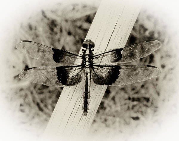 Dragonflies Digital Art - Dragonfly In Sepia by Tony Grider