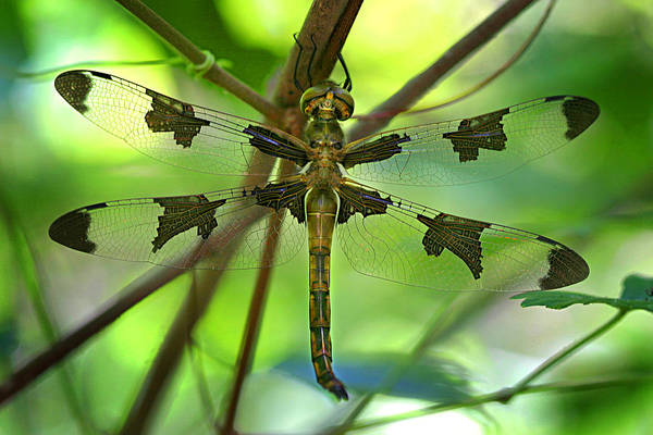 Dragonflies Photograph - Dragonfly  by Jeff Klingler