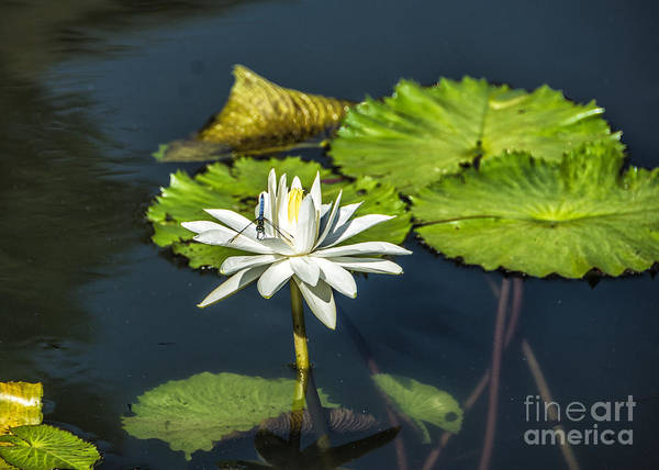 Photograph - Dragonfly Kisses A Waterlily by Terry Rowe
