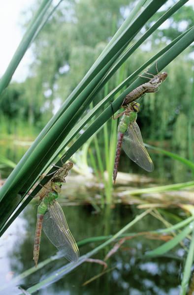 Molting Wall Art - Photograph - Dragonfly Metamorphosis by David Nunuk/science Photo Library