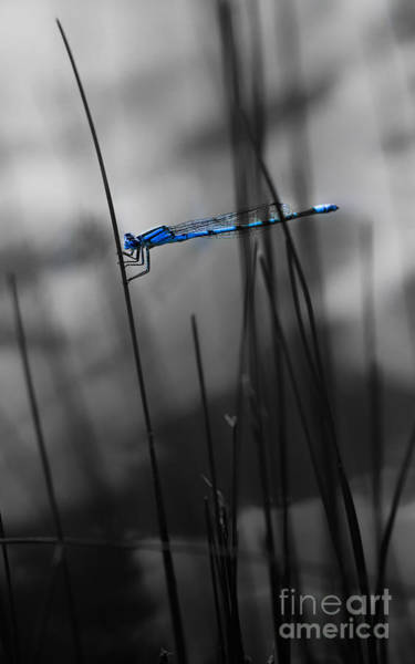 Photograph - Dragonfly by Michael Arend