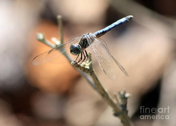 Photograph - Dragonfly Nap Time by Carol Groenen