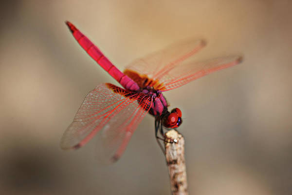 Dasher Photograph - Dragonfly by Niels Busch