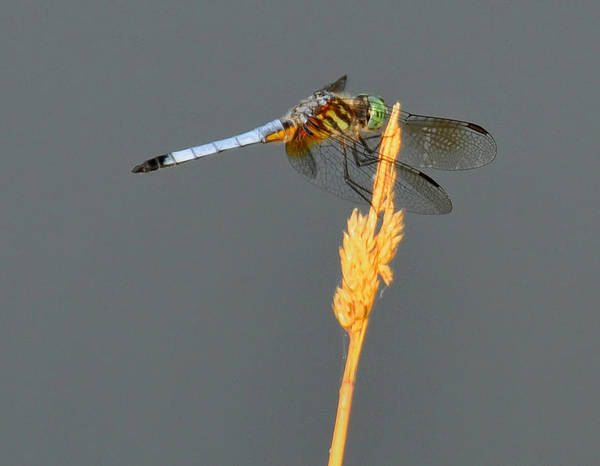 Blades Digital Art - Dragonfly On A Blade Of Grass by Chris Flees