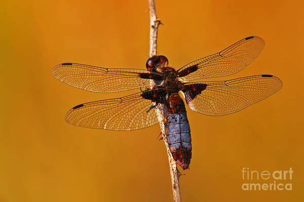 Photograph - Dragonfly On A Branch by Nick  Biemans