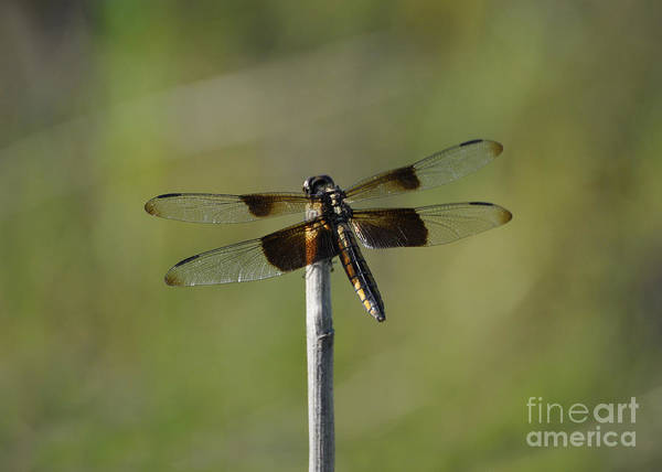 Photograph - Dragonfly On A Stick by Cheryl McClure