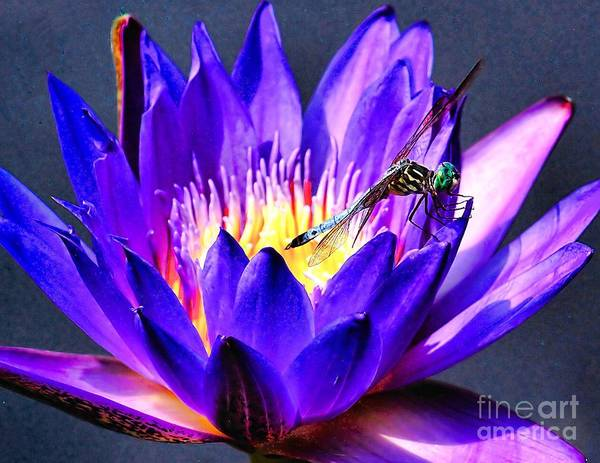 Photograph - Dragonfly On A Water Lilly by Nick Zelinsky