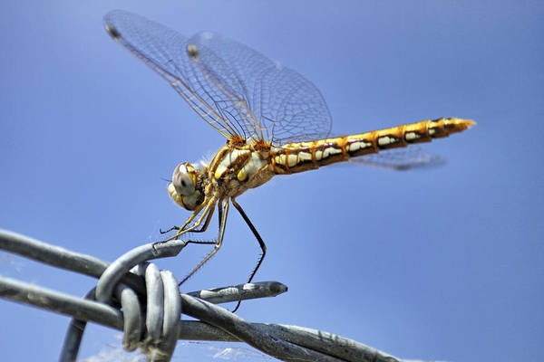 Photograph - Dragonfly On Barbed Wire by Jason Politte