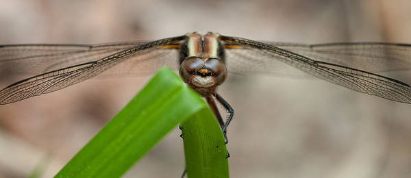 Photograph - Dragonfly On Grass by Jeff Sinon