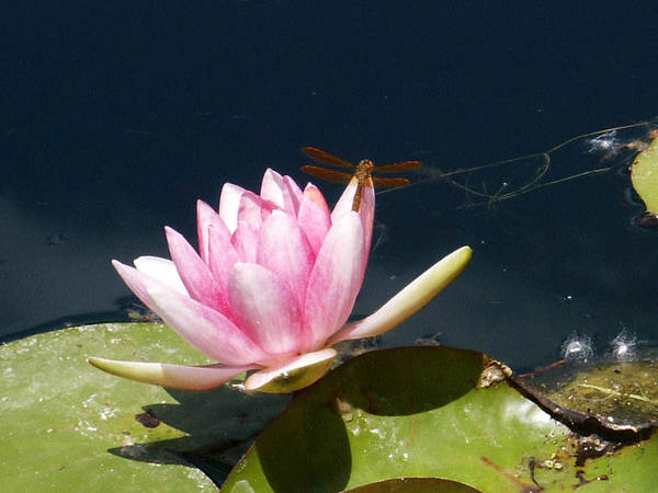 Photograph - Dragonfly On Lotus Flower by Tarey Potter