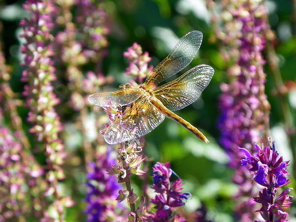 Christy Photograph - Dragonfly On Purple by Christy Patino