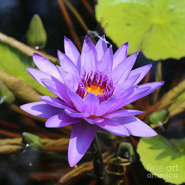 Photograph - Dragonfly On Water Lily Square by Carol Groenen