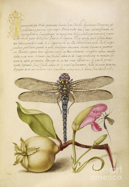 Photograph - Dragonfly-pear-carnation And Insect by Getty Research Institute
