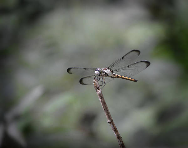 Photograph - Dragonfly Perched by Maggy Marsh