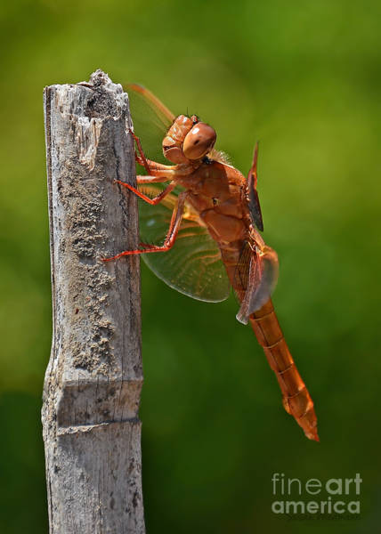 Photograph - Dragonfly Resting by Susan Wiedmann