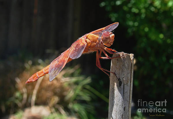 Bokah Photograph - Dragonfly Stretching by Susan Wiedmann