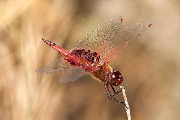 Photograph - Dragonfly by Stuart Litoff