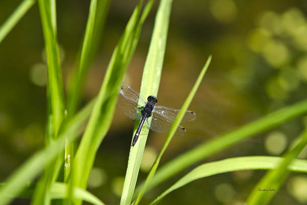 Photograph - Dragonfly Sun by Christina Rollo